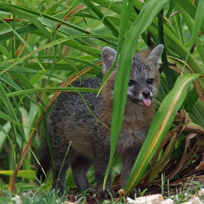 SUmmer Fox -- an annual backyard visitor