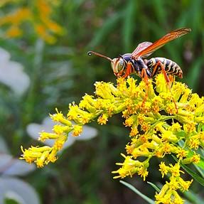 P600 - Wasp Close-ups