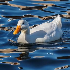 A Few More Ducks