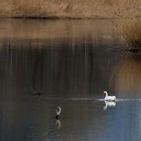 A Swan Story (D600 + tamron 150-600)