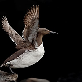 Guillemot ready to take off