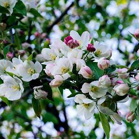 Hoosier Sakura