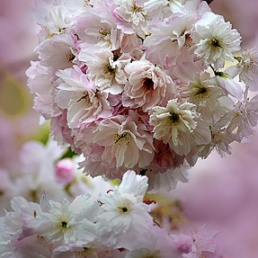 Show how you do your cherry blossom pictures.