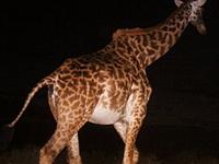 Snapshot Serengeti crowdsourcing zoology with remote cameras