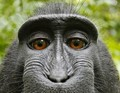 Monkey photo copyright in question as Wikipedia denies photographer's takedown request