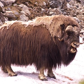 Smiling Musk Ox with the DA300 + 1.4 HD TC