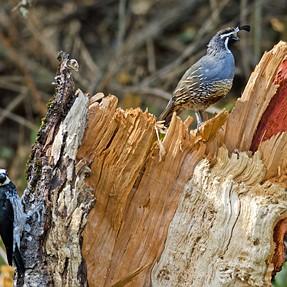 Woodpecker and Quail share a stump