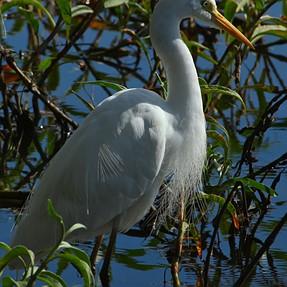Pelicans, Herons, Egrets,Ibis from North Queensland