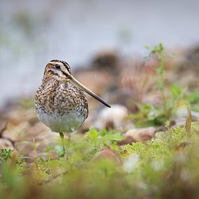 Common Snipe using a Canon 7D