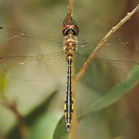 A77 II Dragonflies