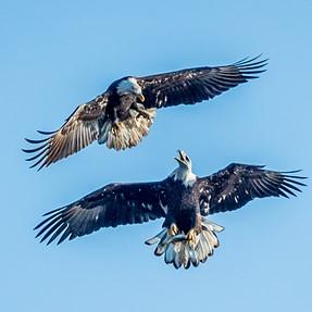 Bald Eagles Battle for a Fish