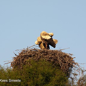 Young Storks, high up in a tree (E 450