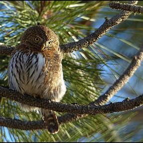 Northern Pygmy Owl, Mountain Chickadee & Sharp-shinned Hawk