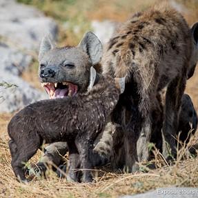 Hyena Interaction - Amboseli