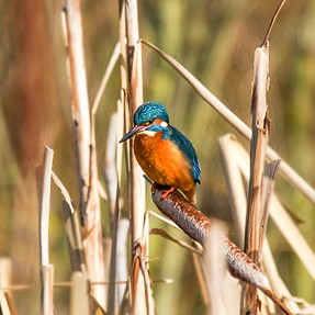 KINGFISHERS AND KESTREL sony a99 and tamron 150-600