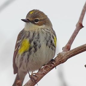 Yellow-rumpted Warbler