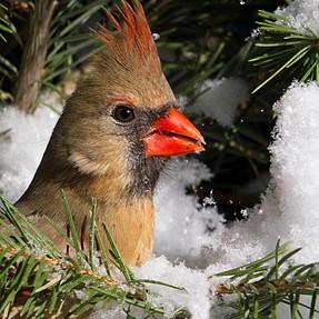 Winter Back Yard Birds