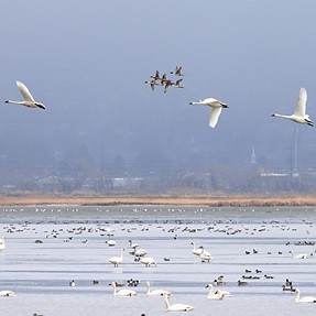 Tundra Swan Migration on the Great Salt Lake and More