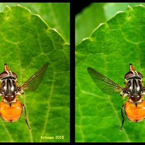 A flying Rhingia campestris cross-view.