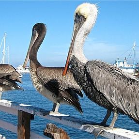I love pelicans!