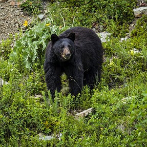 A99 / A900 Glacier National Park (Bears, Waterfalls and Lakes)