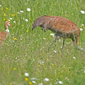 Sandhill Crane and young
