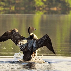 My first P900 post: loons and Costa Rica