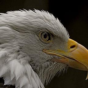 The Bald Eagle , the Iris and  the Bird..
