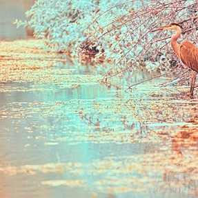 Blue Heron in Infrared