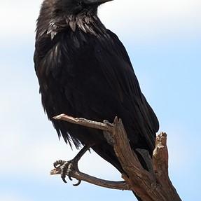 P900 Raven
