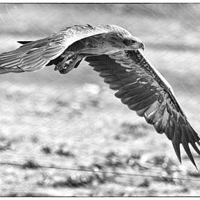 Pallas Fish Eagle - which works best?