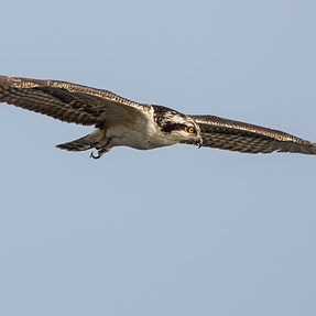 The Last Osprey?