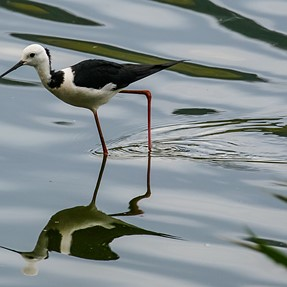 Black Necked Stilts, and a few shots during and after a Thunderstorm