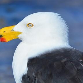 Birds From The Eyre Peninsula South Australia