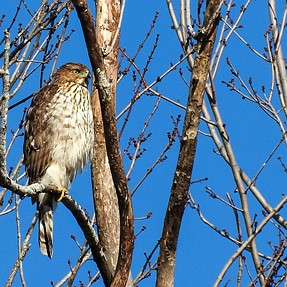 Sharp-shinned Hawk with P610