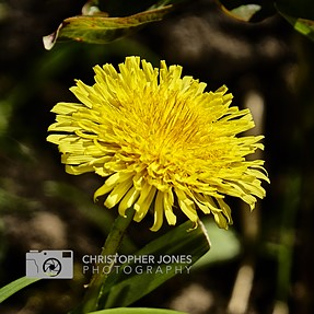 Dandelion in the garden: First images with the A6300 and 18-200 Power Zoom lens :)