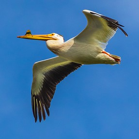Pelican in Flight...with EM1 and 300 f/4