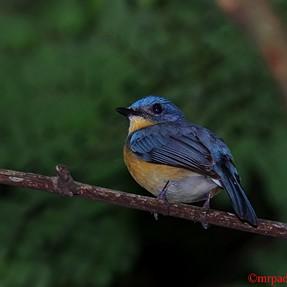 Blue fronted-Redstart .