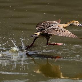 ducks dancing and chasing