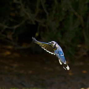 A couple of Blue Jay shots