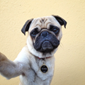 Pug Life: Photographer Instagrams his photogenic pet